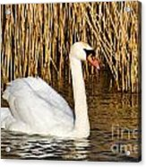 Mute Swan By Reed Beds Acrylic Print