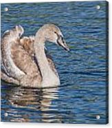 Mute Swan Cygnet Acrylic Print