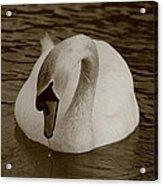 Mute Swan - In Sepia Acrylic Print
