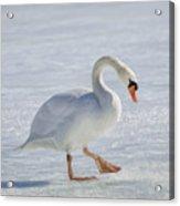 Mute Swan Oil Paint Acrylic Print