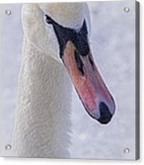 Mute Swan On Ice Acrylic Print