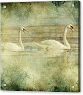 Mute Swan Pair Acrylic Print