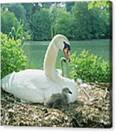 Mute Swan Parent And Chicks On Nest Acrylic Print by Konrad Wothe