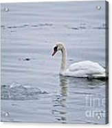 Mute Swan Pictures 131 Acrylic Print