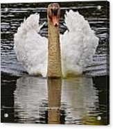 Mute Swan Pictures 141 Acrylic Print