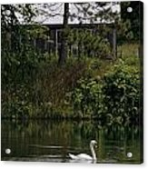 Mute Swan Pictures 199 Acrylic Print