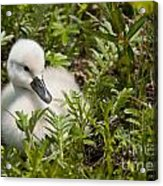 Mute Swan Pictures 210 Acrylic Print