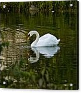 Mute Swan Pictures 85 Acrylic Print
