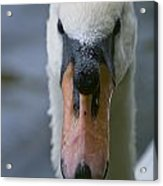 Mute Swan Pictures 88 Acrylic Print