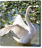Mute Swan Wings Acrylic Print