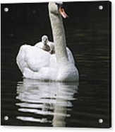 Mute Swan With Chicks On Back Acrylic Print