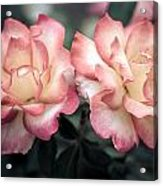 Muted Pink Roses Acrylic Print