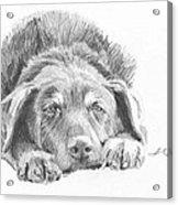 Mutt Pencil Portrait Acrylic Print