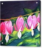 My Bleeding Hearts Acrylic Print