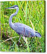 My Blue Heron Acrylic Print by Greg Fortier
