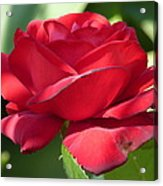 My First Rose Acrylic Print by Janina  Suuronen
