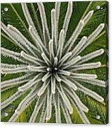 My Giant Sago Palm Acrylic Print by Rebecca Cearley