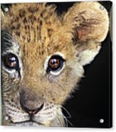 My Grandma What Big Eyes You Have African Lion Cub Wildlife Rescue Acrylic Print