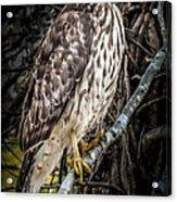 My Hawk Encounter Acrylic Print