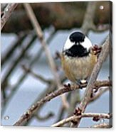 My Lil Chickadee Acrylic Print by Rhonda Humphreys