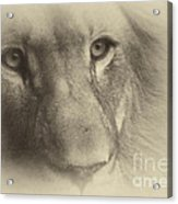 My Lion Eyes In Antique Acrylic Print