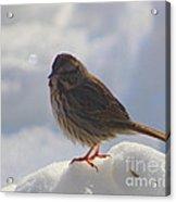 My Little Sparrow Acrylic Print