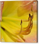 My Name Is Lily Acrylic Print