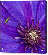 My Old Clematis Home Acrylic Print