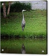 My Reflection - Heron Acrylic Print