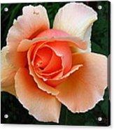 My Rose Acrylic Print