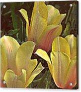 My Three Tulips Acrylic Print