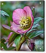 My Wild Xmas Rose Acrylic Print