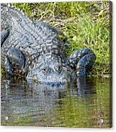 Myakka River Alligator Acrylic Print