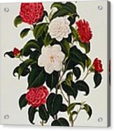 Myrtle Leaved Camellia Acrylic Print