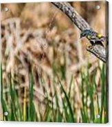Myrtle Warbler Colors Acrylic Print