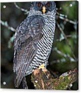 Mysterious Owl Acrylic Print