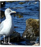 Mystic Seagull Acrylic Print
