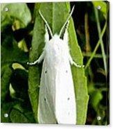 Mystic White Moth Acrylic Print by Bobbie Urbanczyk