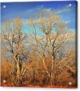 Naked Branches Acrylic Print