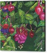 Nancy's Fuchsias Acrylic Print