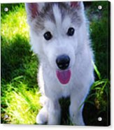Nanook Of The North Acrylic Print
