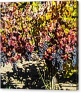 Napa Fall Grapes Acrylic Print