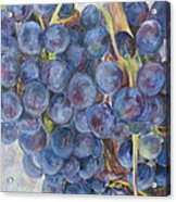 Napa Grapes 1 Acrylic Print by Nick Vogel