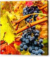 Napa Valley Grapes, California Acrylic Print