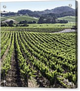 Napa Valley Vineyard Acrylic Print by Dee  Savage