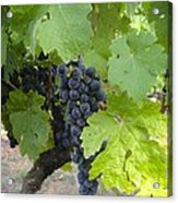 Napa Valley Vineyard Grapes Acrylic Print by Jennifer Lamanca Kaufman