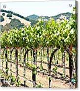 Napa Vineyard Grapes Acrylic Print by Shane Kelly