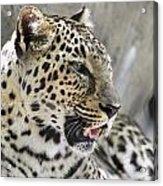 Naples Zoo - Leopard Relaxing 1 Acrylic Print