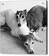 Napping Greyhounds Acrylic Print by Kate Sumners