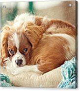 Napping Puppy Acrylic Print by Kay Pickens